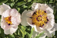 Красивый цветок похожего на дерев пиона в саде лета стоковые фотографии rf