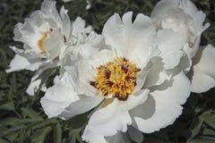 Красивый цветок похожего на дерев пиона в саде лета Деталь макроса бело-розового цветка стоковые фото