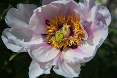 Красивый цветок похожего на дерев пиона в саде лета Жук в мае запятнанный с цветнем стоковое изображение
