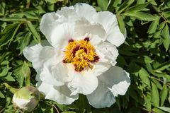 Красивый цветок похожего на дерев пиона в саде лета стоковая фотография rf