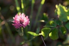 Красивый цветок поля на свете захода солнца Стоковая Фотография RF
