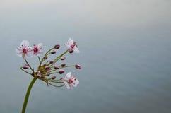 Красивый цветок реки Стоковые Изображения RF