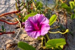 Красивый цветок славы утра пляжа в солнечности стоковые изображения rf