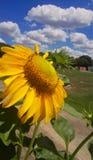 красивый цветок солнцецвета в малом саде стоковое изображение rf
