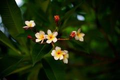 Красивый цветок с свежей душистой ароматностью; Frangipani или plumeria Стоковые Фотографии RF