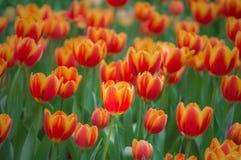 Красивый цветок тюльпана зацветает в саде Стоковые Фото