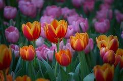 Красивый цветок тюльпана зацветает в саде Стоковые Изображения