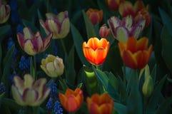 Красивый цветок тюльпана зацветает в саде Стоковое Фото