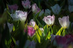 Красивый цветок тюльпана зацветает в саде Стоковые Фотографии RF