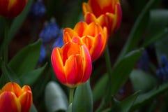 Красивый цветок тюльпана зацветает в саде Стоковое Изображение RF