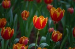 Красивый цветок тюльпанов зацветает в саде Стоковые Изображения