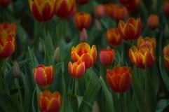 Красивый цветок тюльпанов зацветает в саде Стоковая Фотография