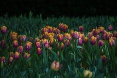Красивый цветок тюльпанов зацветает в саде Стоковые Фотографии RF