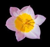 Красивый цветок тюльпана изолированный на черноте Стоковая Фотография RF