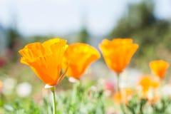 Красивый цветок тюльпанов желтого цвета поля Стоковые Фото
