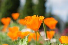 Красивый цветок тюльпанов желтого цвета поля Стоковые Изображения