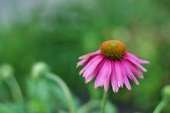 Красивый цветок эхинацеи Стоковое фото RF