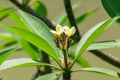 Красивый цветок яйца стоковое фото rf
