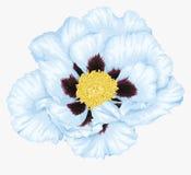 Красивый цветок arborea Paeonia завода (пиона дерева) белый изолированный на белизне Стоковое Изображение