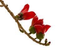 Красивый цветок Ceiba Bombax Стоковые Изображения
