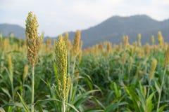 Красивый цветок corns зацветая в поле стоковая фотография
