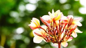 Красивый цветок frangipani на валентинке влюбленности дерева Стоковые Фотографии RF