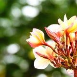 Красивый цветок frangipani на валентинке влюбленности дерева Стоковое Изображение RF