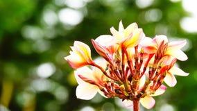 Красивый цветок frangipani на валентинке влюбленности дерева Стоковая Фотография RF