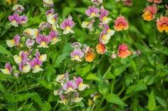 Красивый цветок pancy зацветает в саде Стоковое фото RF