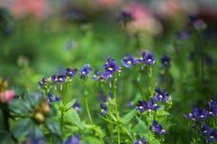 Красивый цветок pancy зацветает в саде Стоковое Фото