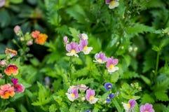 Красивый цветок pancy зацветает в саде Стоковые Фотографии RF