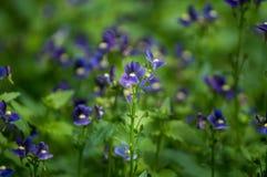 Красивый цветок pancy зацветает в саде Стоковая Фотография
