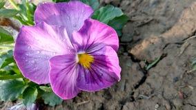 Красивый цветок Pancy стоковое изображение rf