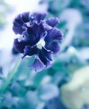 Красивый цветок, pansies красивая, холодная, абстрактная предпосылка Стоковые Изображения RF