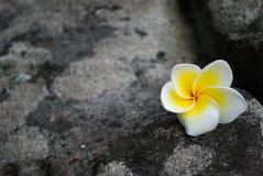 Красивый цветок Plumeria на утесе Стоковые Изображения