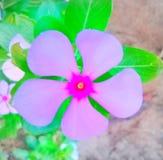 Красивый цветок rosea барвинка стоковые изображения