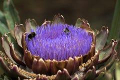 Красивый цветя артишок стоковое фото rf