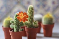 Красивый цветя цветок кактуса белизна дыма крытых заводов dracaena Стоковые Фотографии RF