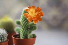 Красивый цветя цветок кактуса белизна дыма крытых заводов dracaena Стоковое Изображение RF