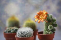 Красивый цветя цветок кактуса белизна дыма крытых заводов dracaena Стоковые Фото