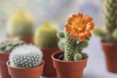 Красивый цветя цветок кактуса белизна дыма крытых заводов dracaena Стоковые Изображения