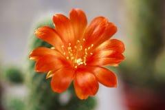 Красивый цветя цветок кактуса белизна дыма крытых заводов dracaena Стоковое фото RF