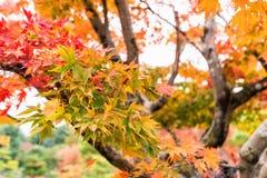 Красивый цвет кленовых листов в осени стоковые фотографии rf