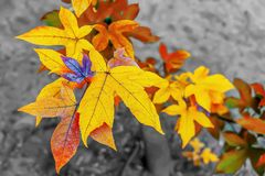 Красивый цвет осени кленовых листов в открытом саде Стоковая Фотография RF