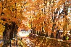 красивый цвет осени кленовых листов Японии в corri клена Стоковые Фотографии RF