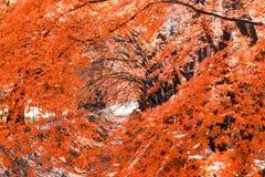 красивый цвет осени кленовых листов Японии в corri клена Стоковая Фотография RF