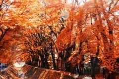 красивый цвет осени кленовых листов Японии в corri клена Стоковое Фото