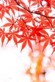 красивый цвет осени кленовых листов Японии красных на whiite Стоковое фото RF