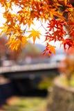 Красивый цвет осени кленовых листов Японии на обесцвечивании дерева, желтого цвета, апельсина и красного цвета в парке Стоковые Изображения