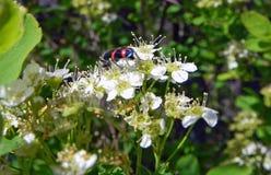 Красивый черный жук с яркими красными нашивками на белом цветке Стоковое Фото